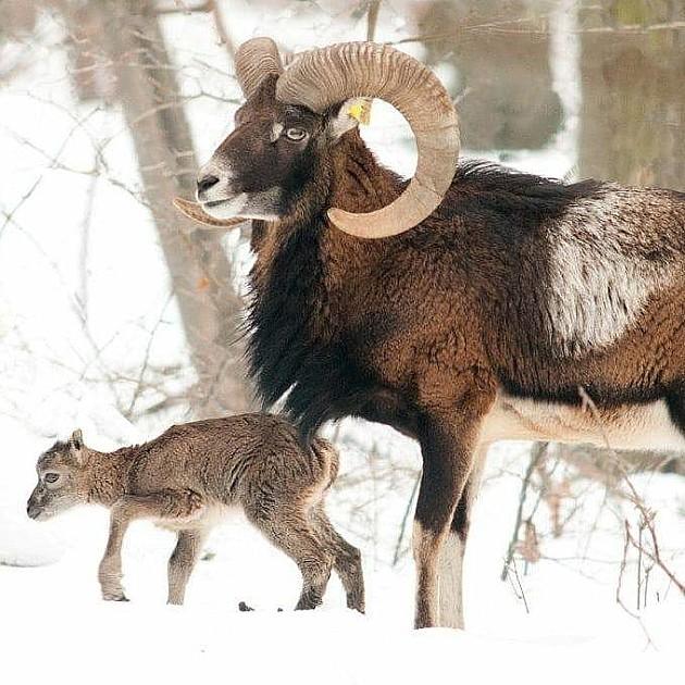 Traži se ime za prvu bebu muflona rođenu na Fruškoj gori