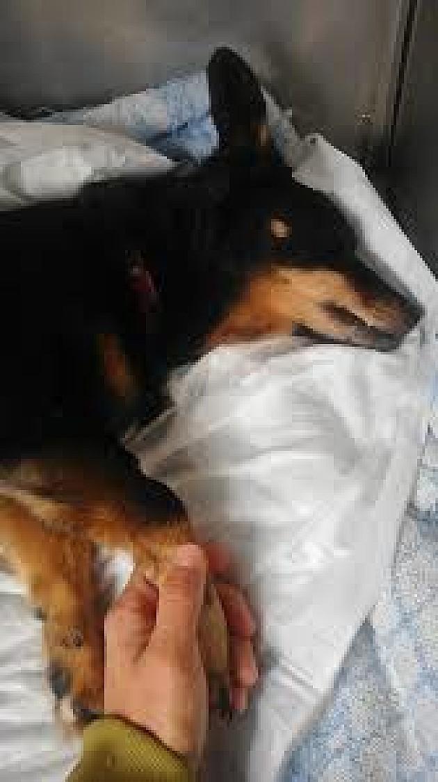 Uginula je Kaja, pas kojem je dečak zakucao ekser u glavu