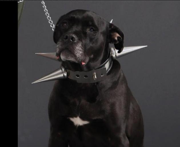 """Rasni psi iz prihvatilišta """"Zoohigijene"""" ilegalno u inostranstvu"""