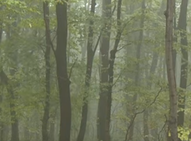 Kradljivci seku i zaštićena stabla