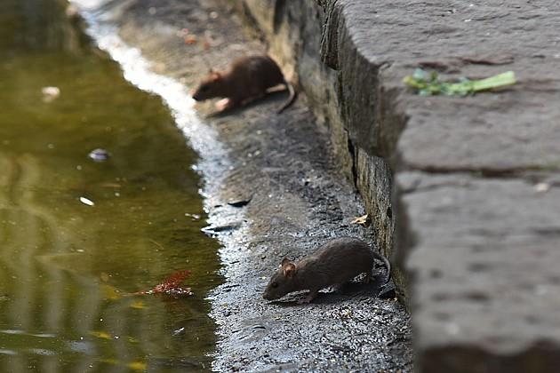 """Toplo vreme """"izmamilo"""" pacove u Dunavski park, deratizacija krajem sedmice"""