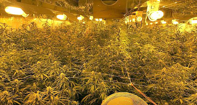 Novosađanin uhapšen zbog uzgoja marihuane