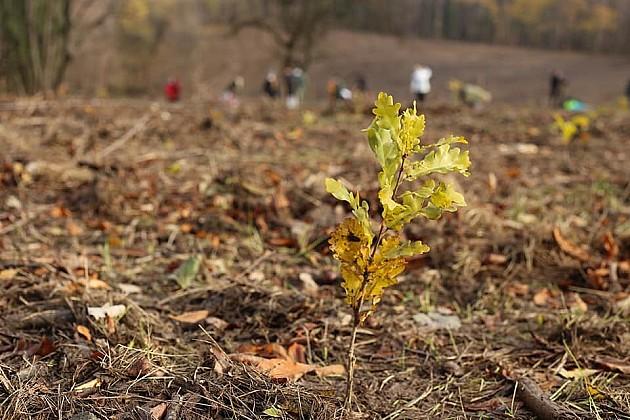 Za manje od deset dana zasađeno 28.000 sadnica hrasta na Fruškoj gori